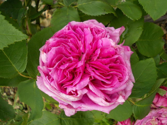 Rosa Yolande d'Aragon  Dscn8046