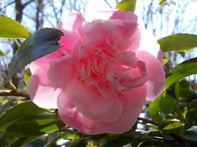 Camellia !!! - Page 4 Dscn8228