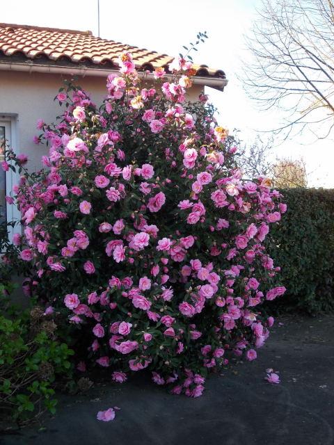 Camellia !!! - Page 5 Dscn8229