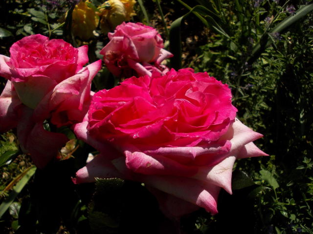 "Rosa ""Pascal Sevran"" - Page 2 Dscn8355"