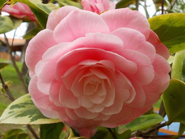 Camellia !!! - Page 5 Dscn8444
