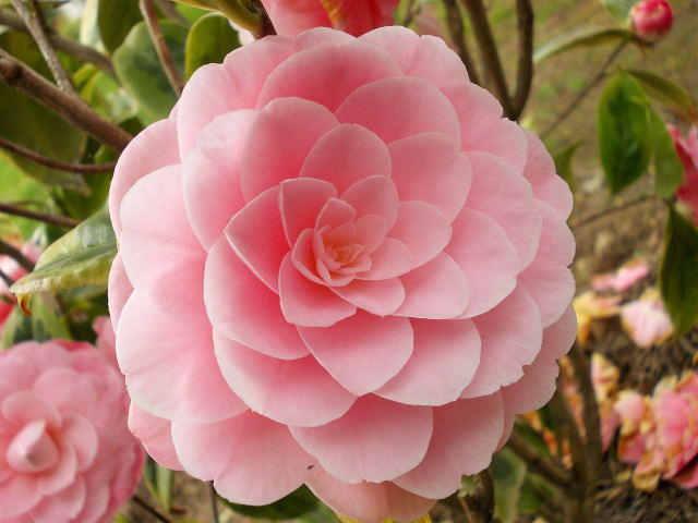 Camellia !!! - Page 5 Dscn8445