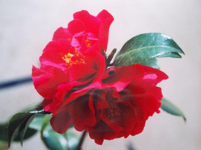 Camellia !!! - Page 5 Dscn8446