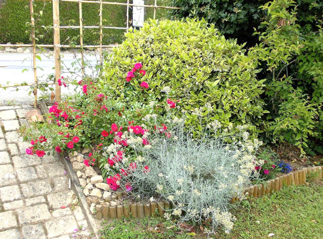 laurier tin panaché (Viburnum tinus 'variegatum' ) Dscn8714