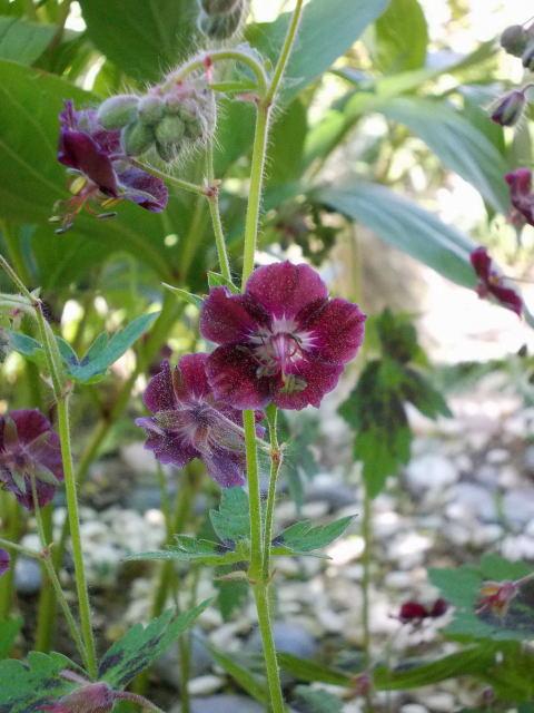 geranium vivace Dscn9037
