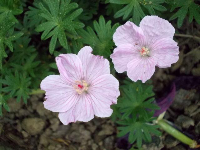 geranium vivace Dscn9127