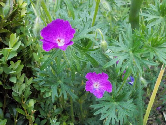 geranium vivace Dscn9128