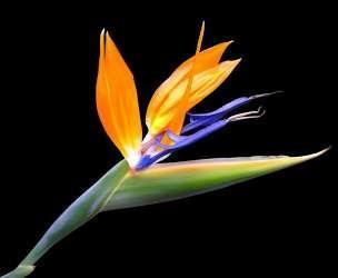 Strelitzia reginae ou Estrelicia (oiseau de paradis)  Flor_e10