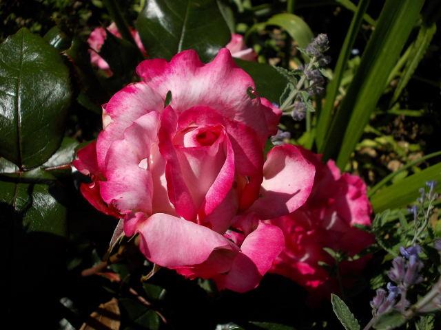 "Rosa ""Pascal Sevran"" - Page 2 Pascal11"