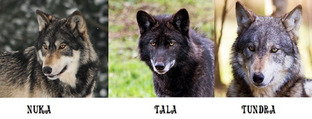Wolf trip in the UK Wolves14