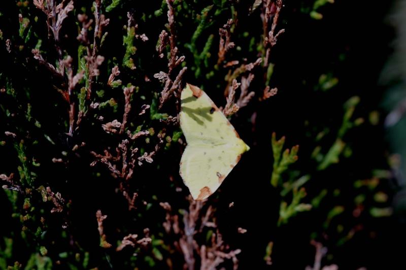 Premières observations de papillons en 2014 - Page 2 Citron10