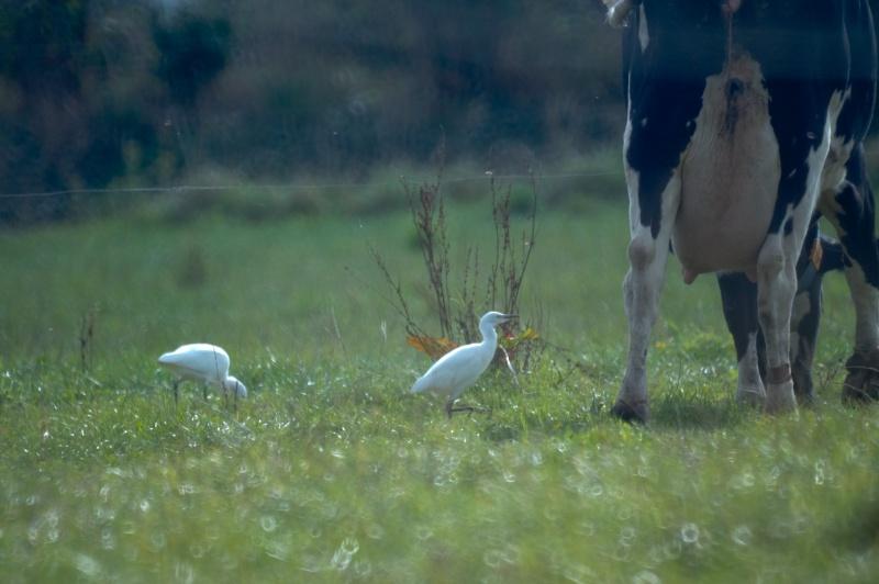 Herons garde-boeufs Gardeb10