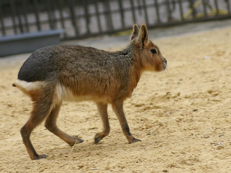 un animal - ajonc - 28 juillet trouvé par Martine Dolich12