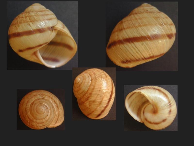 Helix philibinensis (Rossmässler, 1839) H_phil10