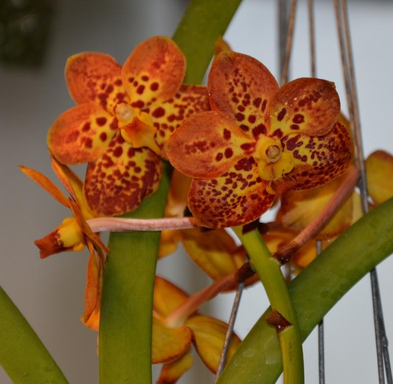 Ascocenda Spoti Orange Orange10