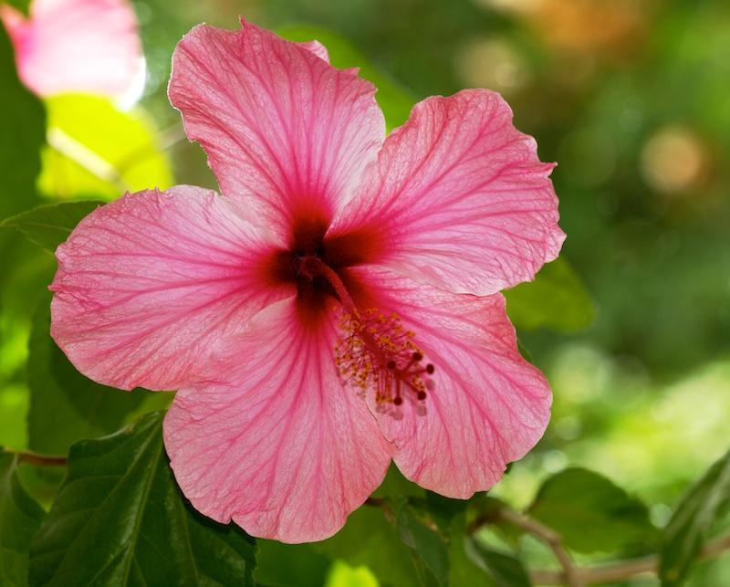 Hibiscus Hibisc11
