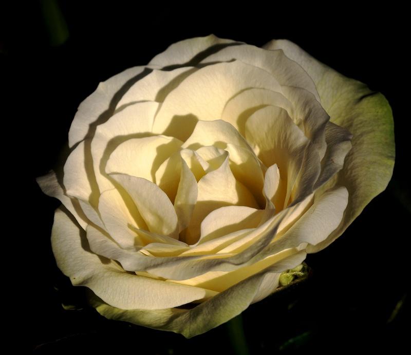 Des fleurs Rose10