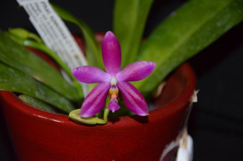 Phalaenopsis tetraspis x violacea (Jennifer Palermo) oder Phal. speciosa x violacea (Germaine Vincent) Phal_s11