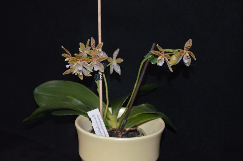 Phalaenopsis tetraspis x cornu cervi Phal_t11