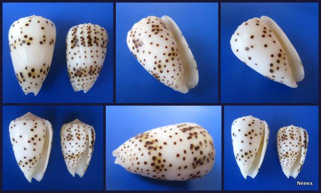 Puncticulis pulicarius (Hwass in Bruguière, 1792) - Page 2 Conus_10