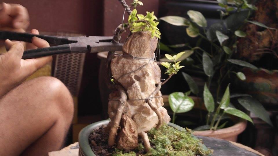 Root over rock Jasmine  C47a1910