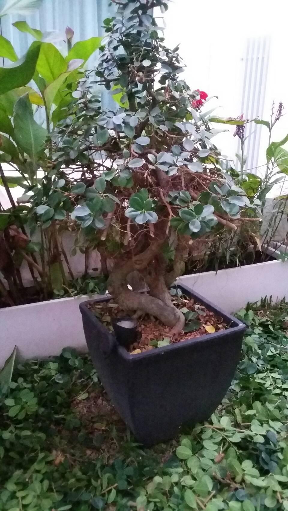 ficus in a large pot C60f4810