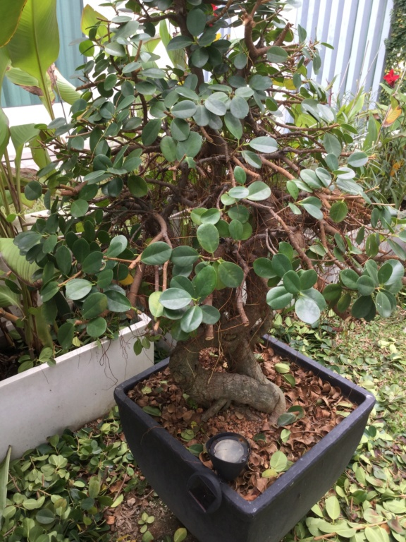 ficus in a large pot C7641310