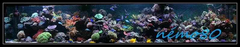 amphiprion platinum Fofo10