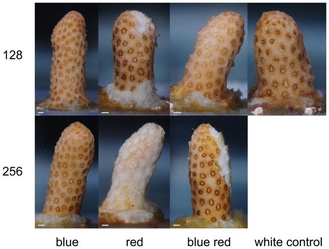 La lumière rouge affecte négativement la santé des coraux durs Image_10