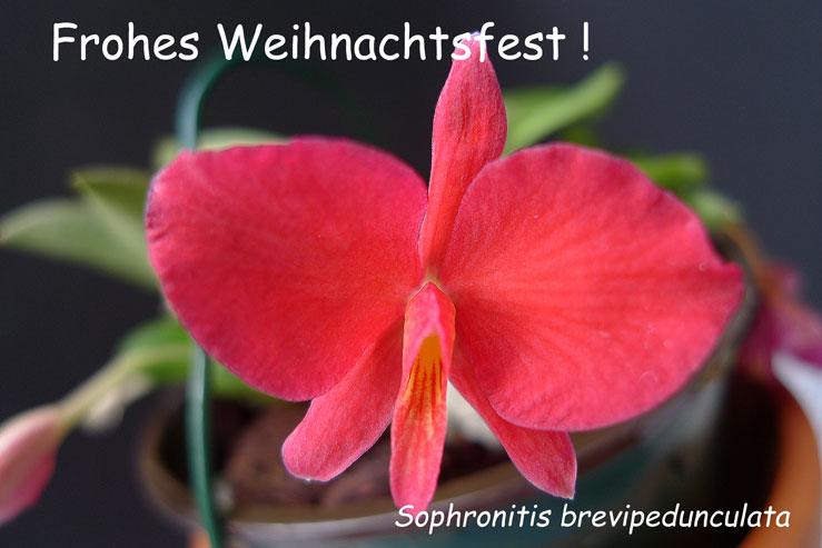 Sophronitis brevipedunculata Sophro10