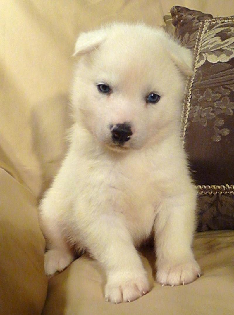 All white huskies, then and now pics please! Yukon_11