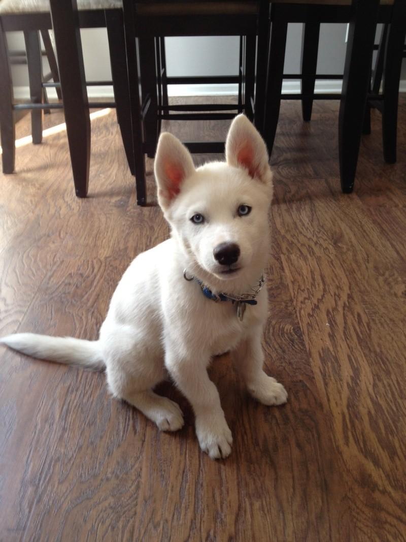 All white huskies, then and now pics please! Yukon_12