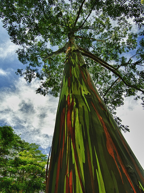 L'eucalyptus arc-en-ciel 15094110