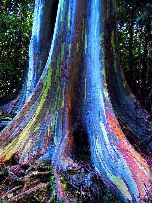L'eucalyptus arc-en-ciel Arbol-10
