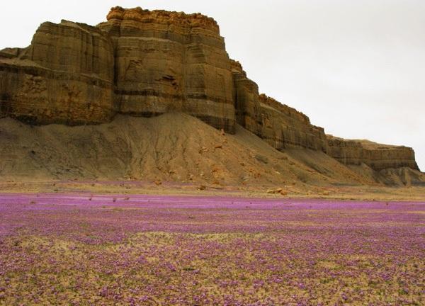 Le désert et la phacelia Purple10