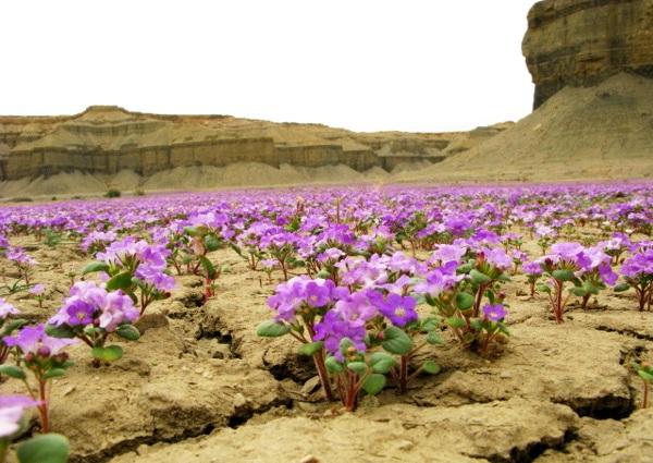 Le désert et la phacelia Purple11