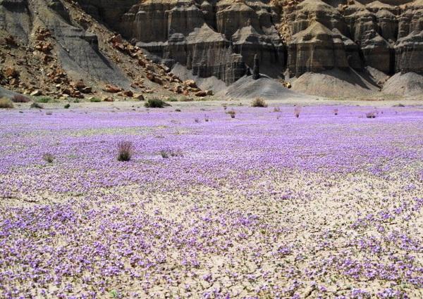 Le désert et la phacelia Purple12