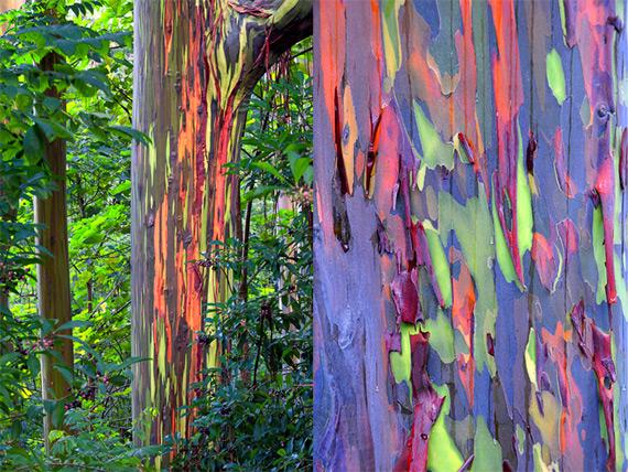 L'eucalyptus arc-en-ciel Rainbo10