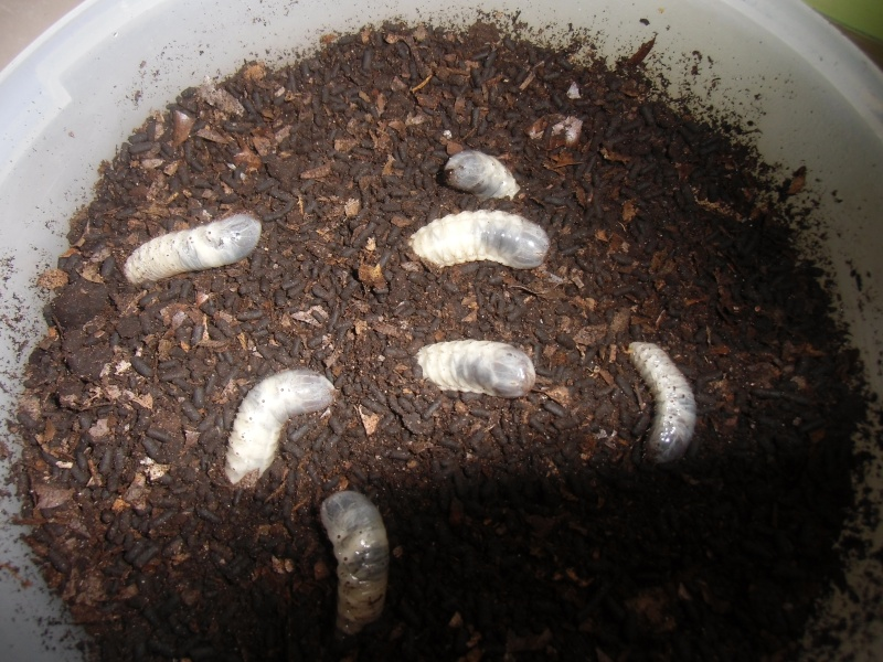 Elevage eudicella euthalia Cimg1220