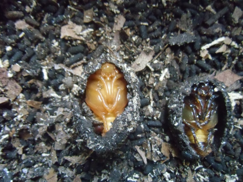 Elevage eudicella euthalia - Page 2 Cimg1234