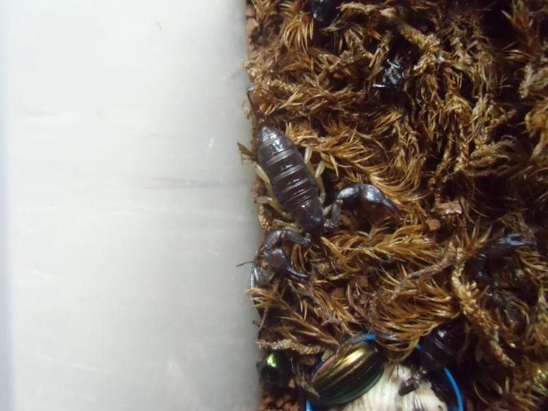 euscorpius carpathicus Cimg1260