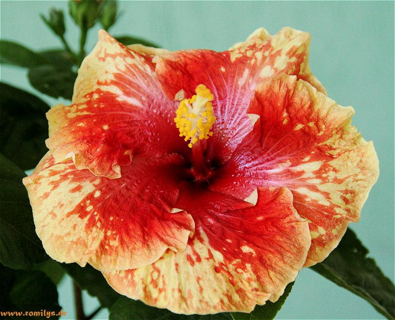 Hibiscus - alle Arten, Zuchtformen ... Erfahrungsberichte, Aussaat und selbstverständlich Bilder :) - Seite 4 Unbena17