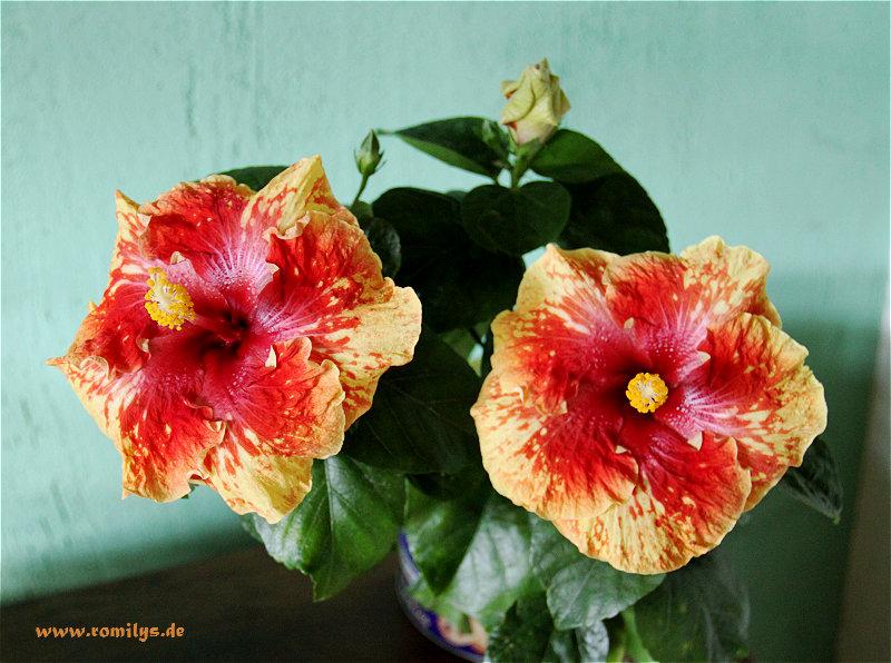 Hibiscus - alle Arten, Zuchtformen ... Erfahrungsberichte, Aussaat und selbstverständlich Bilder :) - Seite 4 Unbena18