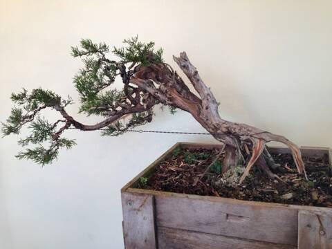 Collecting Eastern Red Cedar Juniperus Virginiana