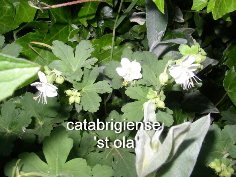 pour les amoureux des géraniums vivaces - Page 37 Catabr10