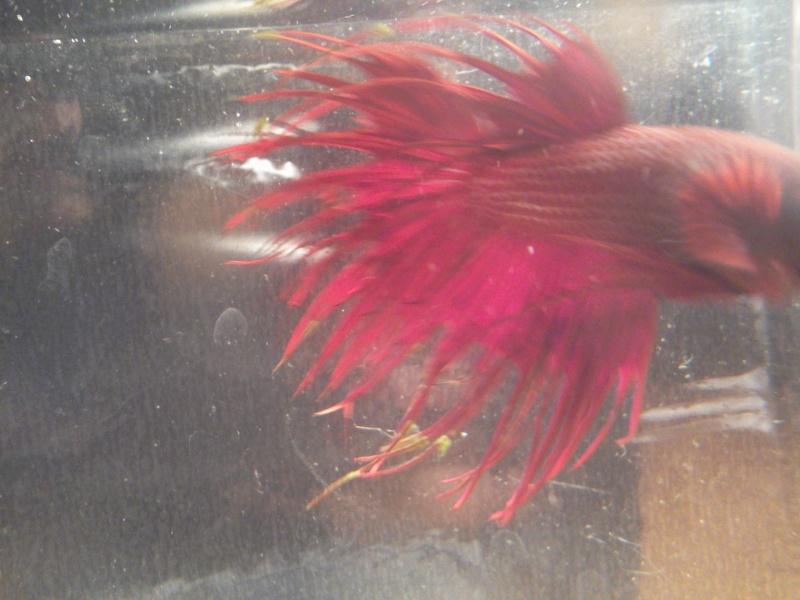 filaments accrochés aux nageoires  Photo023