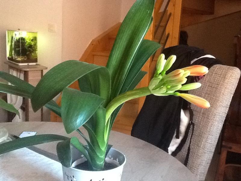 Clivia bientot en fleur  HAMPE cassé comment la couper Image32