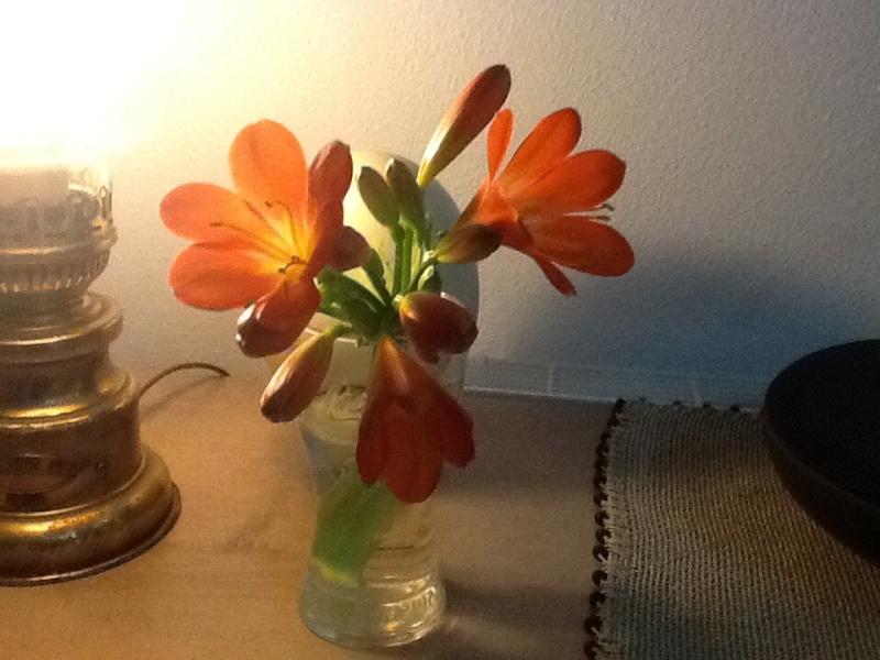Clivia bientot en fleur  HAMPE cassé comment la couper Image33