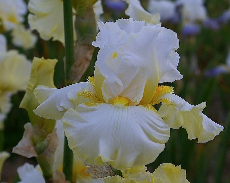 Encore quelques iris Cayeux 2014 Domain10
