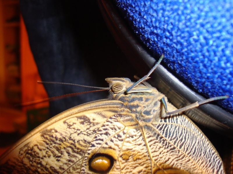 Eclosion Caligo eurilochus Copie_12